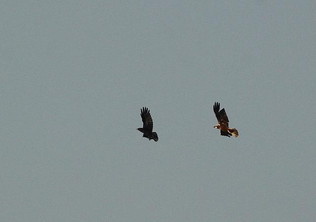 Marsh Harrier @ Filsham