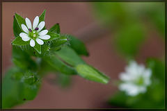 Common Chickweed: The 34th Flower of Spring!