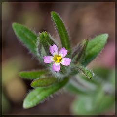 Slender Phlox: The 31st Flower of Spring!