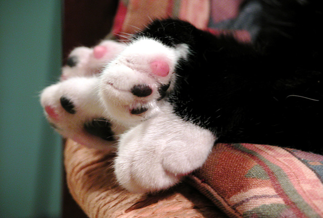 Black and pink toes of a cat