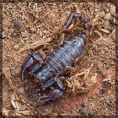 Jackpot! Northwest Forest Scorpion! [EXPLORE #13, TYVM!!]