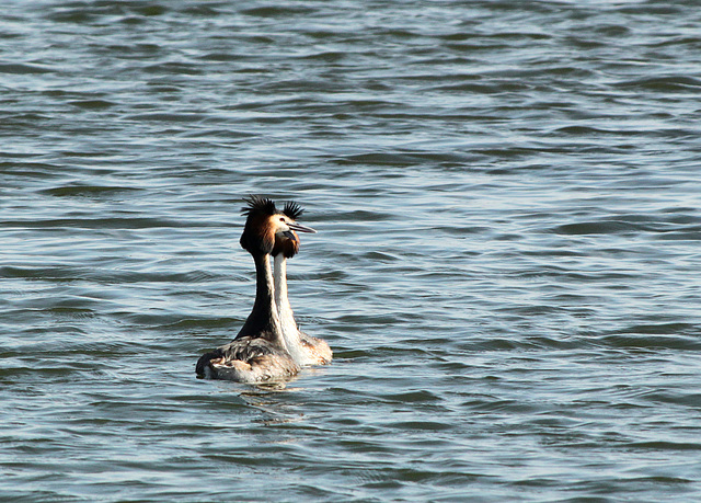 Great Crested Grebes Mating Dance