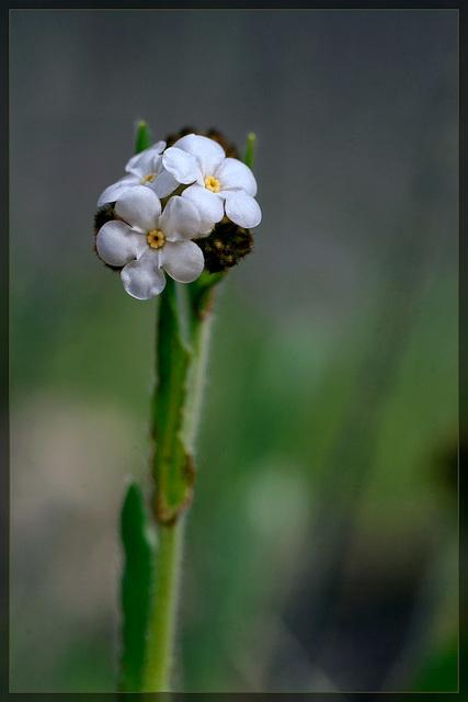 Rusty Popcornflower: The 29th Flower of Spring!