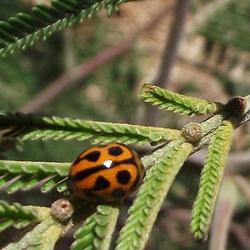 Coelophora inaequalis