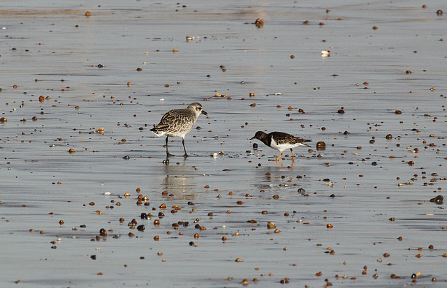 Grey Plover & Same Jealous Turnstone