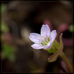 Miner's Lettuce Sub-Species! The 30th Flower of Spring!