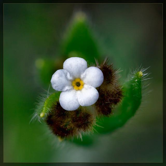 Rusty Popcornflower: The 29th Flower of Spring! [EXPLORE #15! TYVM!!]