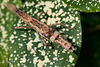20_Phasme / Stick insect