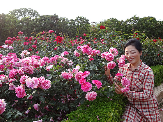 2013.5.26How beautiful rose are!Why are you waving in the breeze?You just look like waving in my heart!