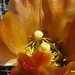 Yellow spider on cholla flower #1