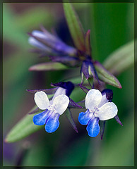 Smallflower Blue-Eyed Mary: The 27th Flower of Spring!