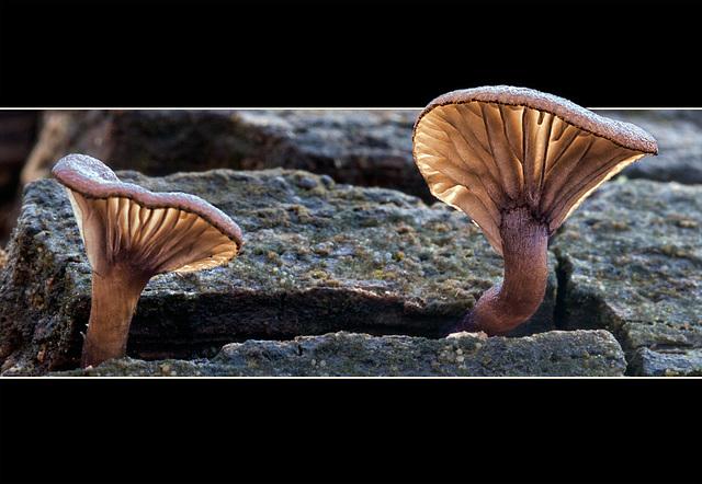Mushroom Drama Queens [EXPLORE #12]