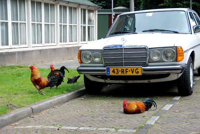 Cocks guard my car
