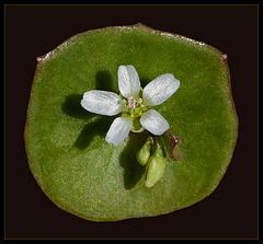 Miner's Lettuce: The 24th Flower of Spring!