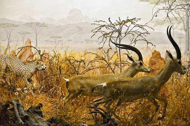 A Cheetah Giving Chase, Diorama – Carnegie Museum of Natural History, Pittsburgh, Pennsylvania