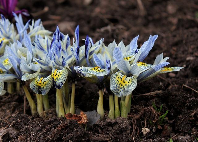 Iris x histrioïdes