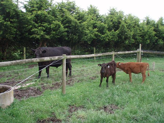our new heifer calves