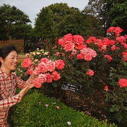 2013.5.26I enjoy sauntering in the rose garden of KASIWANOHA.我漫步在柏叶玫瑰园。