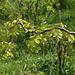 Robinia pseudoacacia ' Contorta'