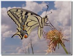 Papilio machaon. Revers.