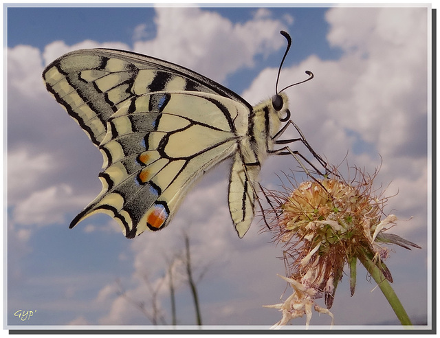 Papilio machaon. Revers.