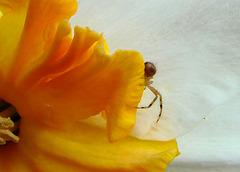 Crab Spider on a Daffodil