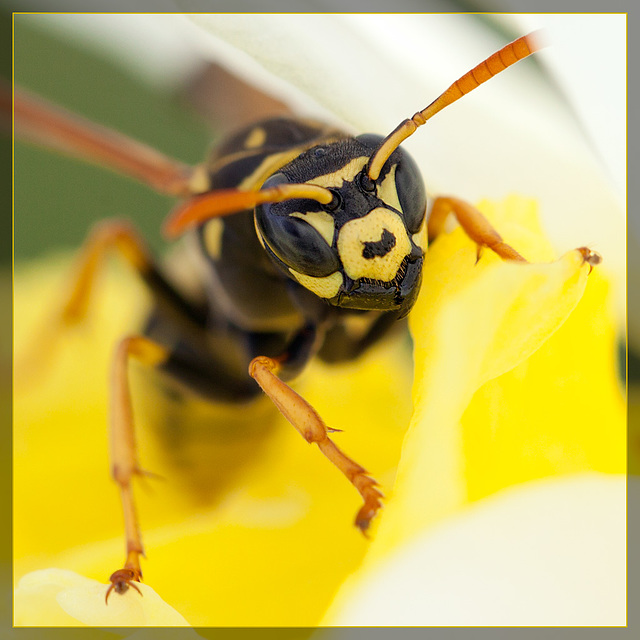 Wasp Portrait: Up Close & Personal