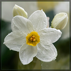 Jonquil Face After A Spring Shower [Flickr Explore]