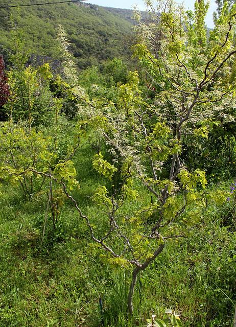 Robinia pseudoacacia ' Contorta' (2)