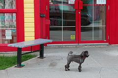 Spotting a rare dog: the Poodle