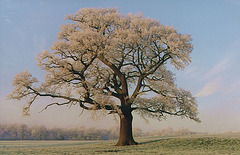 lone tree - frosty