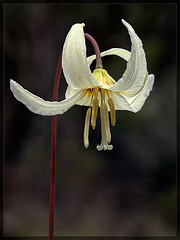 Oregon Fawn Lily: The 22nd Flower of Spring!
