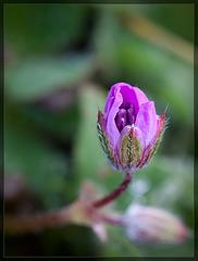 A Tiny Rose [EXPLORE #9 TYVM!!]