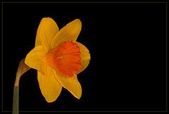 Ceylon Daffodil: The 21st Flower of Spring!