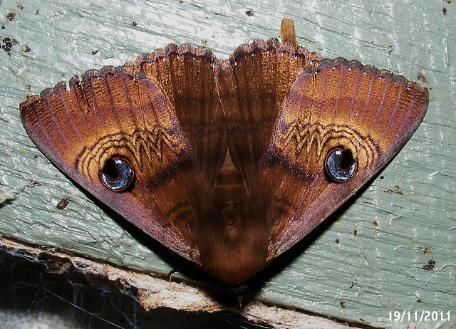 Dasypodia selenophora