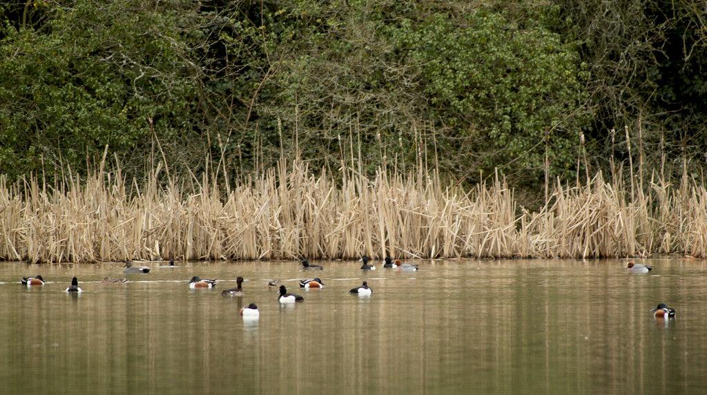 Ducks @ Pebsham