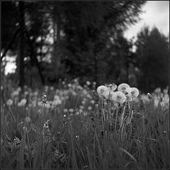 ..., dandelions, wind