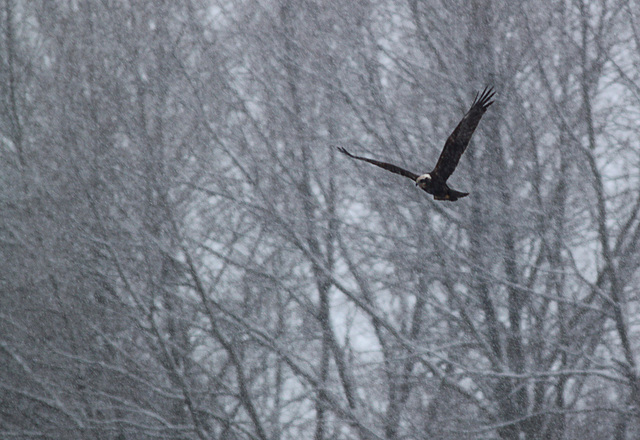 Marsh Harrier @ Filsham