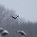 Female Marsh Harrier @ Filsham