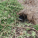 fairy penguin in burrow