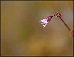 Smallflower Woodland Star: The 20th Flower of Spring!