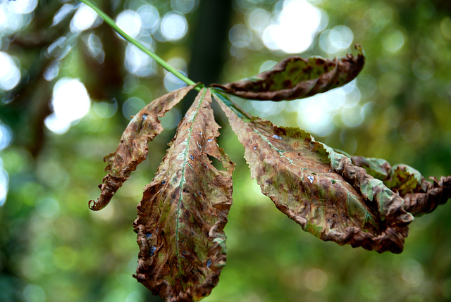 Bad times for horse chestnuts
