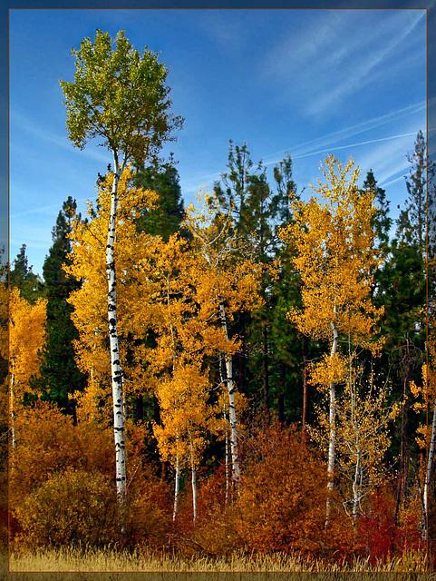 Golden Aspens in Autumn