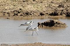 Syncronised Avocets