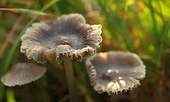 Worbly Fungi