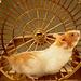 Hamstro (foto el Vikipedia)