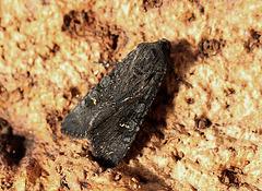 Black Rustic Aporophyla nigra