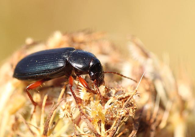 Seed Eatin Beetle
