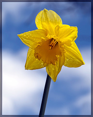 Droplet-Covered Yellow Daffodil: The 18th Flower of Spring!