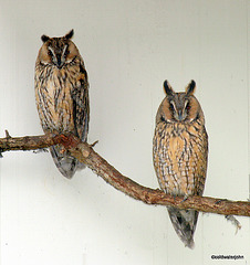 A pair of Long-eared ? Horned? owls roosting. Anyone out there who can provide positive ID?